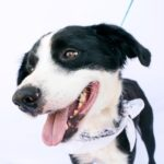 Okie is a male, border collie mix. He is about 2 years old. He is beautiful and medium sized. He is active and happy and full of love! The adoption fee is $220. ID# 0117
