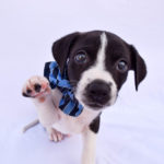Niko is a male, Aussie/border collie mix. He is about 8 weeks old. Niko is calm and sweet. He loves to cuddle and will melt your heart! His adoption fee is $250. ID: 0128