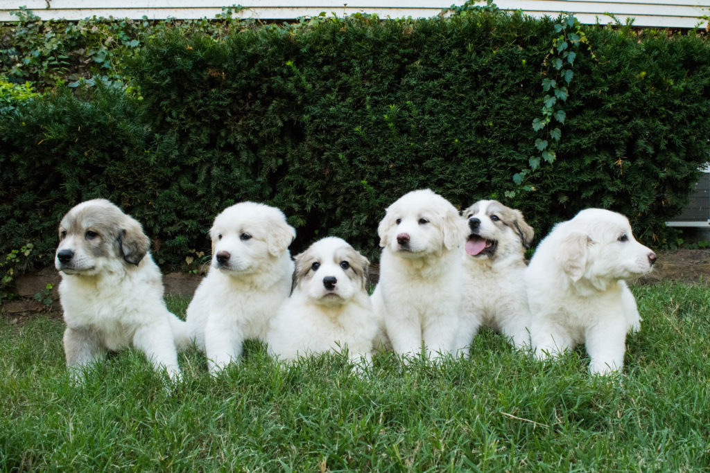 Pyr pups