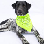 Ryder is a male, German shorthair pointer mix.  He is about 2 years old. Ryder is such a sweet guy! He's beautiful and calm, but loves to play outside. The adoption fee is $220. ID: 0119
