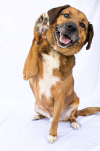 *Pup of the week* Sam is a 5-8-year old, male mix. He is a medium sized dog. He is a happy boy that would love to have a good size yard and a quiet home! This boy still has a lot of spunk in him! His adoption fee is $220. ID #: 0044