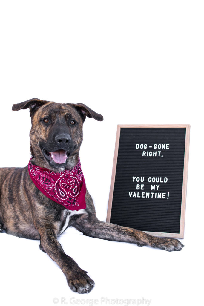 Ralphie is a male, shepherd mix. He weighs 76 pounds. Ralphie is very responsive and intelligent. He does not do well with other male dogs but does well with females. He loves people! The adoption fee is $200