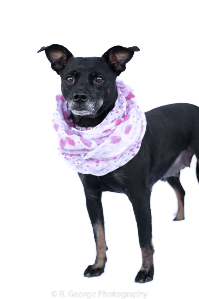 Sallie is a female chihuahua mix, around 2 years old! She weighs about 15 pounds. She's very sweet and just wants to be loved on. She was a momma, so now it her turn to be the puppy. She is the perfect lap dog! Her adoption fee is $220.