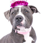 *Adoption Pending* Willow is a female American bully! She is around 3 years old. She is the happiest girl. She does well around other dogs, and loves care rides! She is full of kisses and very confident. Her adoption fee is $200.