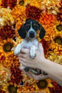 Ash - male, beagle mix