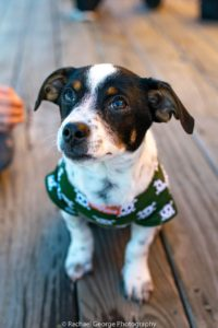 Timmy - jack russel mix