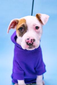 *adoption pending* Levi - male, American bulldog, 12 weeks