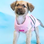Isabella - female, chesapeake retriever mix, 9 weeks