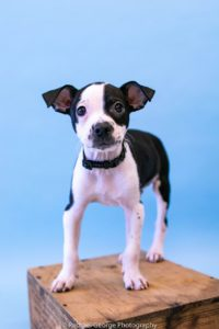 Arnold - male, terrier mix