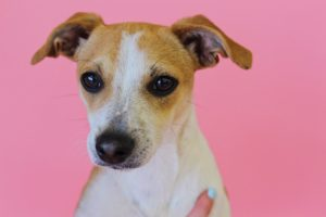 Sparky is male jack russell mix, around 1 year old.